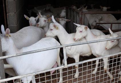 Les jeunes chèvres Saanen de La ferme de La Pérotonnerie de Rom