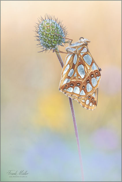 Kleiner  Perlmuttfalter  ( Issoria lathonia )