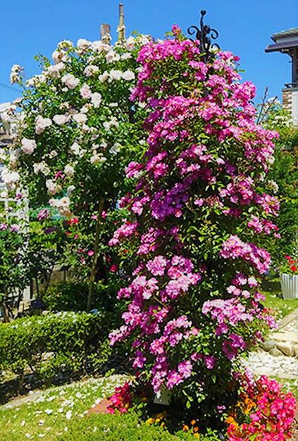 「K-garden」のバラ園(粟生外院2ー11付近・南北2園)。箕面市HPから。