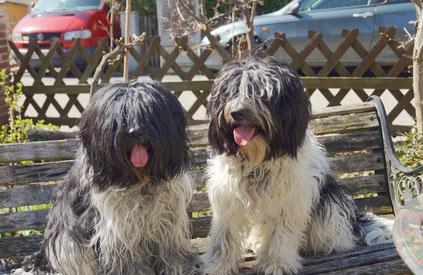 das sind meine beiden Schapendoes Hündinnen Zamantha und Paolina aus der Schapendoes-Zucht von Happy Shaggy Family in Deutschland