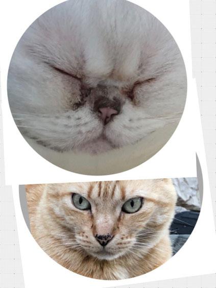 Vergleichen sie die Nasenlänge der er beiden Katzen