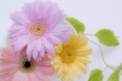 いきいき明るい春の花たち。うすい紫、ピンク、黄色のガーベラの花。