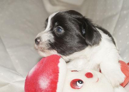 unser schwarz-weißer Yorkshire Welpe ist jetzt 3 1/2 Wochen alt