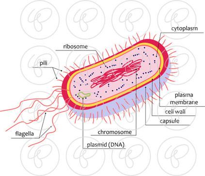 Aufbau eines Bakteriums (hier Escherichia coli): Das Erbgut schwimmt als ringförmige Struktur im Zellinneren herum, Apparate zur Abwicklung biochemischer Vorgänge sind ebenfalls verteilt. Geisseln dienen der Fortbewegung.