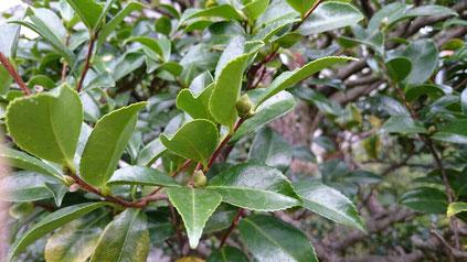 山茶花の花芽