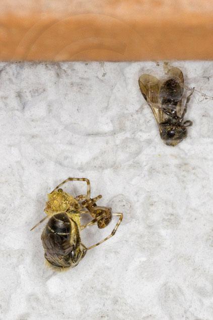 Gewächshausspinne Parasteatoda tepidariorum = Achaearanea tepidariorum Hahnenfuß-Scherenbiene Osmia florisomnis