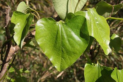 オオバウマノスズクサの葉 長さ10〜15cmくらいある