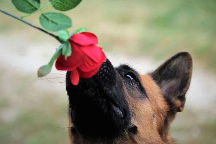 Das ist ein Schäferhund mit Rose