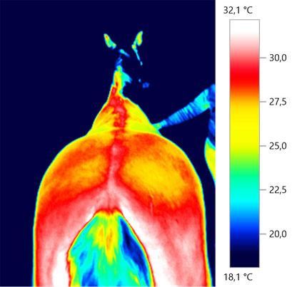 Pferdethermografie Thermografie Pferderücken Kruppe
