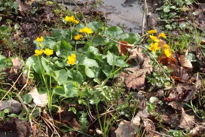 Sumpfdotterblumen - Caltha palustris (G. Franke, 20.03.2016)