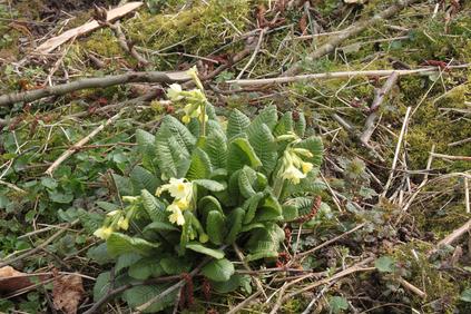 Hohe Schlüsselblume (Primula elatior) in Nähe der ehemaligen Erddeponie (G. Franke, 20.03.2016)