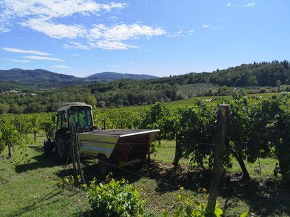 Oogsttijd in de Chianti streek