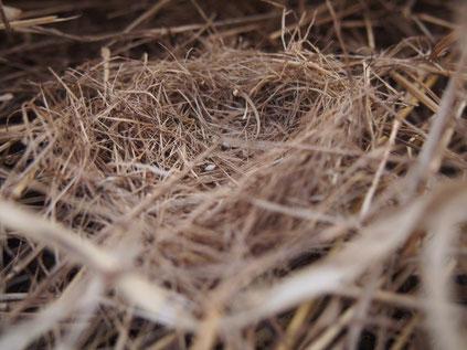 皿状の地表巣。糞が残っていた