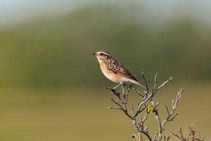 Feldlerche (Foto: Peter Lindel). Zum Jahresvogel 2019 bitte Foto anklicken