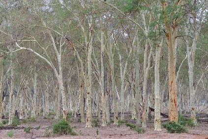 Fever Tree Forest