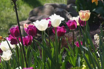 Tulpen in Lila und Weiß