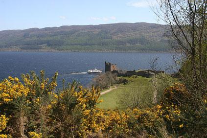 Urqhuart Castle am Loch Ness durch die gelben Ginsterbüsche, dahinter ein Ausflugsboot