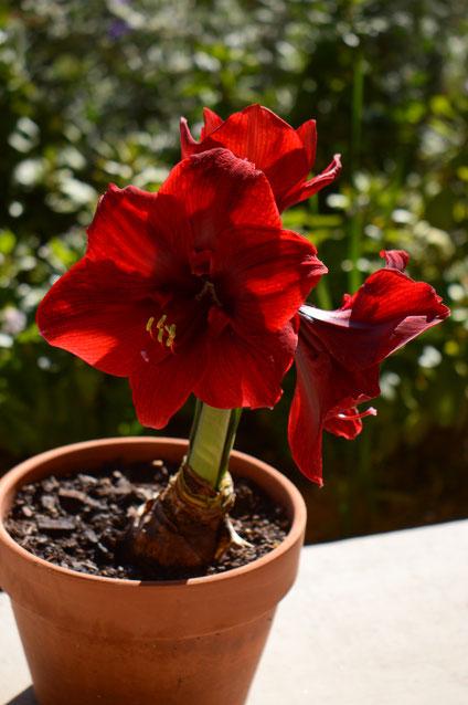 small sunny garden, amy myers, desert garden, hippeastrum, amaryllis, miracle