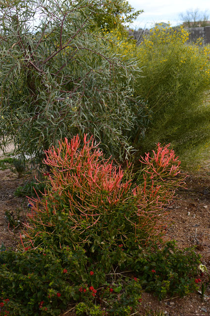 desert garden, small sunny garden, amy myers, garden structure, shrubs, euphorbia, sticks on fire, firesticks