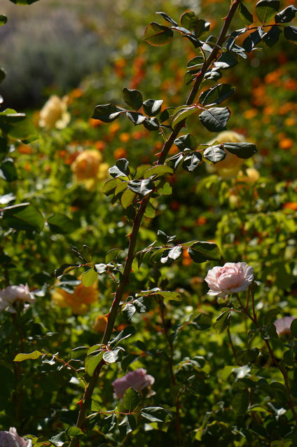 small sunny garden, desert garden, amy myers, photography, garden photography, sonoran desert, tuesday view, rose, english rose