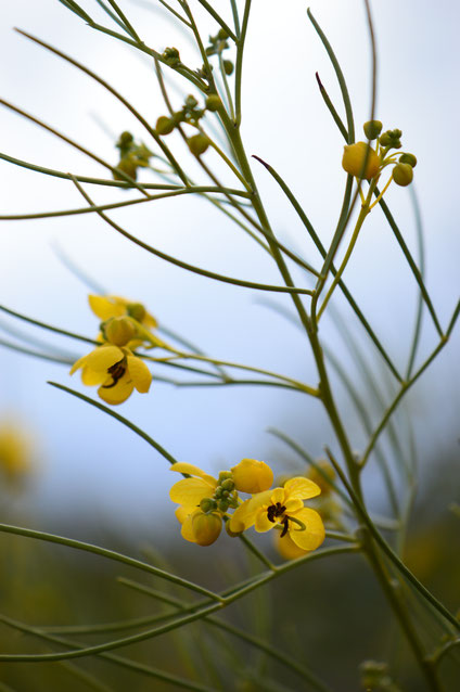 small sunny garden, amy myers, desert garden, photography, garden, arizona, gbbd, garden bloggers bloom day, january, flowers, senna, nemophila, cassia