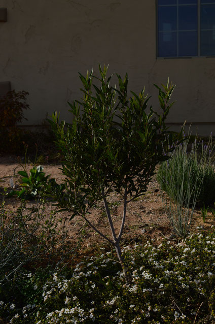 small sunny garden, desert garden, amy myers, vaquelinia, californica, arizona rosewood, tree following, photography