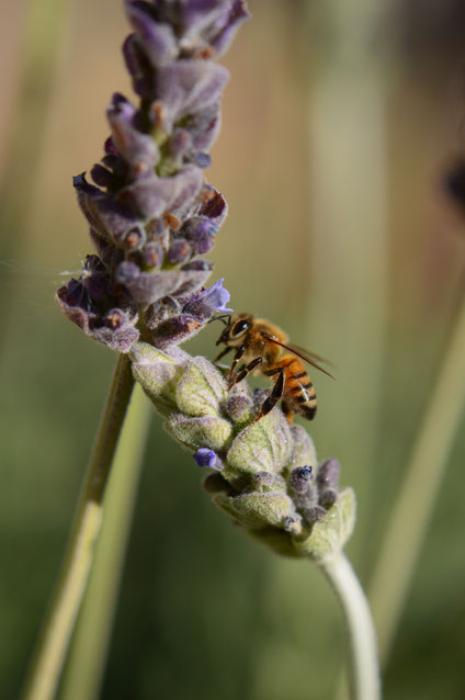 small sunny garden, desert garden, amy myers, photography, lavender, lavandula, dentata, bee
