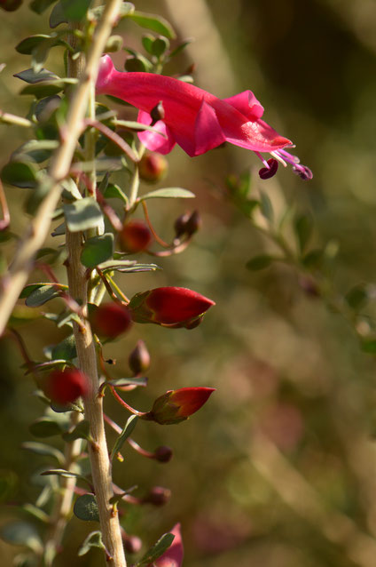 small sunny garden, amy myers, desert garden, photography, garden, arizona, gbbd, garden bloggers bloom day, january, flowers, eremophila, valentine, emu bush