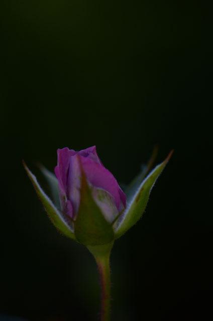small sunny garden, desert garden, amy myers, tuesday view, autumn bloom, miniature rose, kordes
