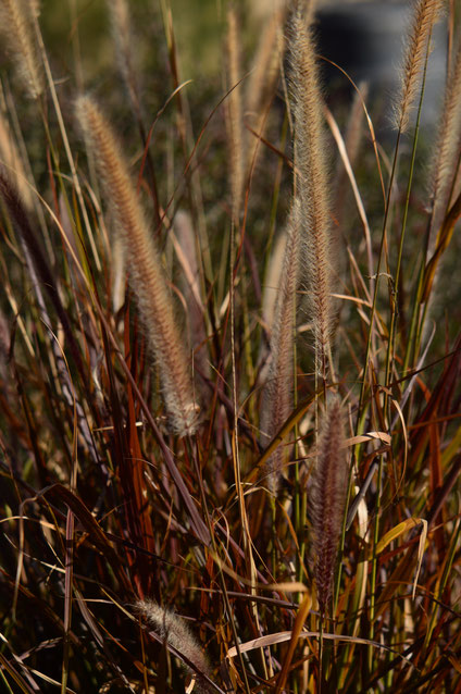 small sunny garden, desert garden, pennisetum, ornamental grass, rubrum, amy myers, photography, january