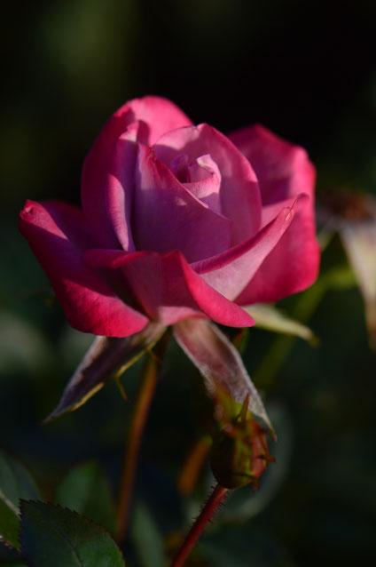 Tuesday view, small sunny garden, desert garden, january, amy myers, photography, miniature rose