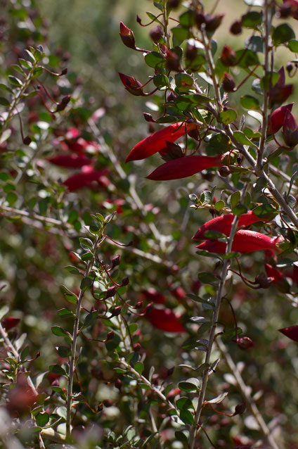 small sunny garden, desert garden, amy myers, photography, tuesday view, january, eremophila, valentine