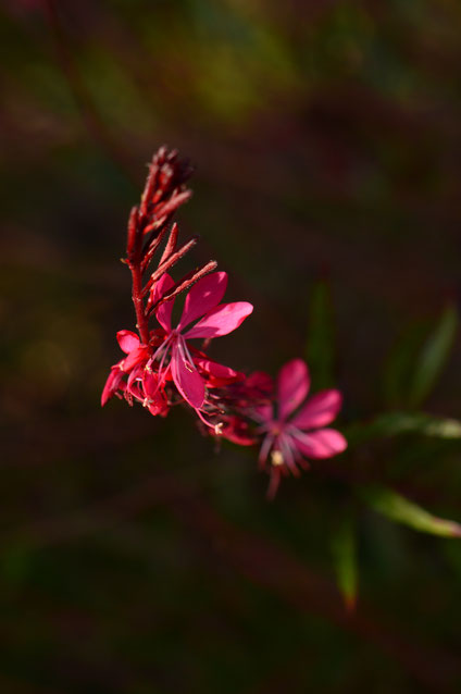 small sunny garden, amy myers, desert garden, photography, garden, arizona, gbbd, garden bloggers bloom day, january, flowers, gaura, oenothera, lindheimeri