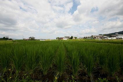 成長期の稲(2017/5/27、photo by 自然農・いのちのことわり)