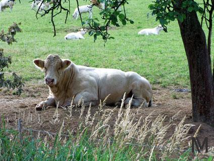 Bulle und Kühe mit Kälbern.