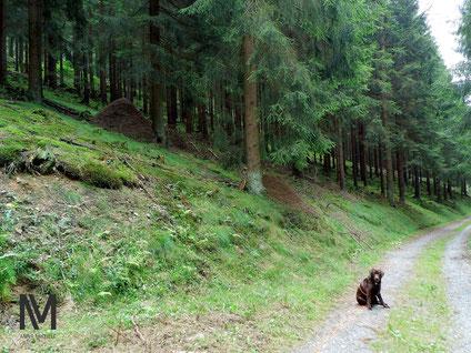 Zwei große Ameisenhügel am Waldrand.