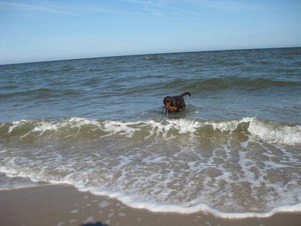 Toni apportiert ein DUmmy aus dem Meer.