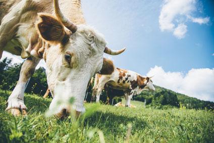 Bio-Rinder grasen auf einer weiten grünen Wiese vor blauen Himmel.