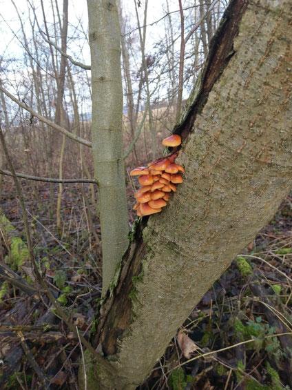 Holzzerstörende -Pilze