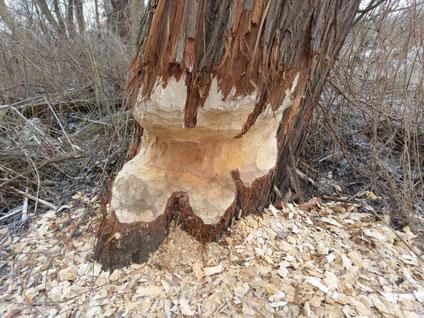 Biberschäden an Bäumen