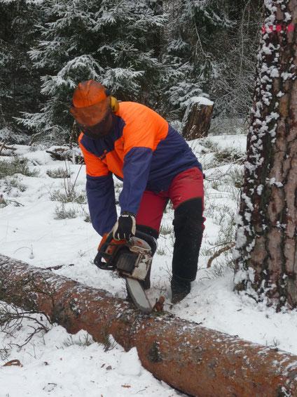 Kiefernfällung im Winter