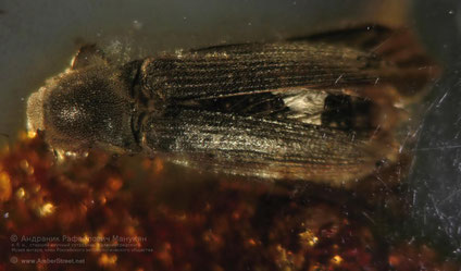 Inclusion in amber:   Coleoptera, Eucnemidae