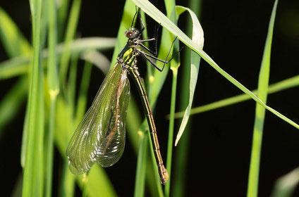 Ein Schlupfunfall bei einem Weibchen der Gebänderten Prachtlibelle, Calopteryx splendens. Dieses Tier wird wohl Opfer eines Fressfeindes oder muss verhungern, da es nicht fliegen können wird.