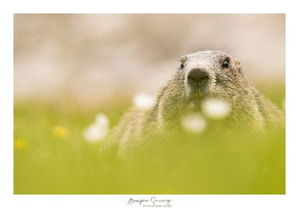 Face à face avec dame Marmotte
