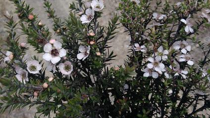 Fleurs de Manuka NZ
