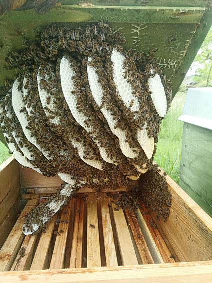 Hier hat die Imkerin vergessen, Waben in den Kasten zu hängen. Den Bienen ist es egal. Sie kleben ihre Waben einfach an den Deckel.