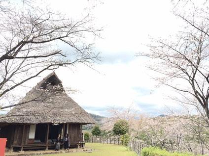 岡豊山 桜