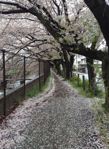 通勤時の玉川上水緑道は花道