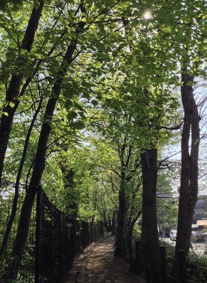 いつもの玉川上水緑道もキレイな緑