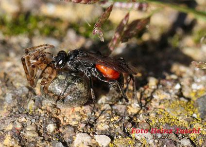 Wegwespe oder Spinnentöter (Anoplius sp.) beim Abtransport einer gelähmten Spinne